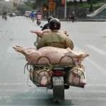 motorcycle_pigs_2.jpg